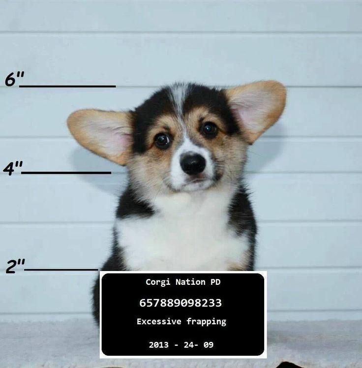 9bf03351048d78802cdc11d6233cc768--corgi-funny-corgi-puppies
